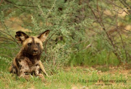 Wild dogs, hyenas and lions put on a show