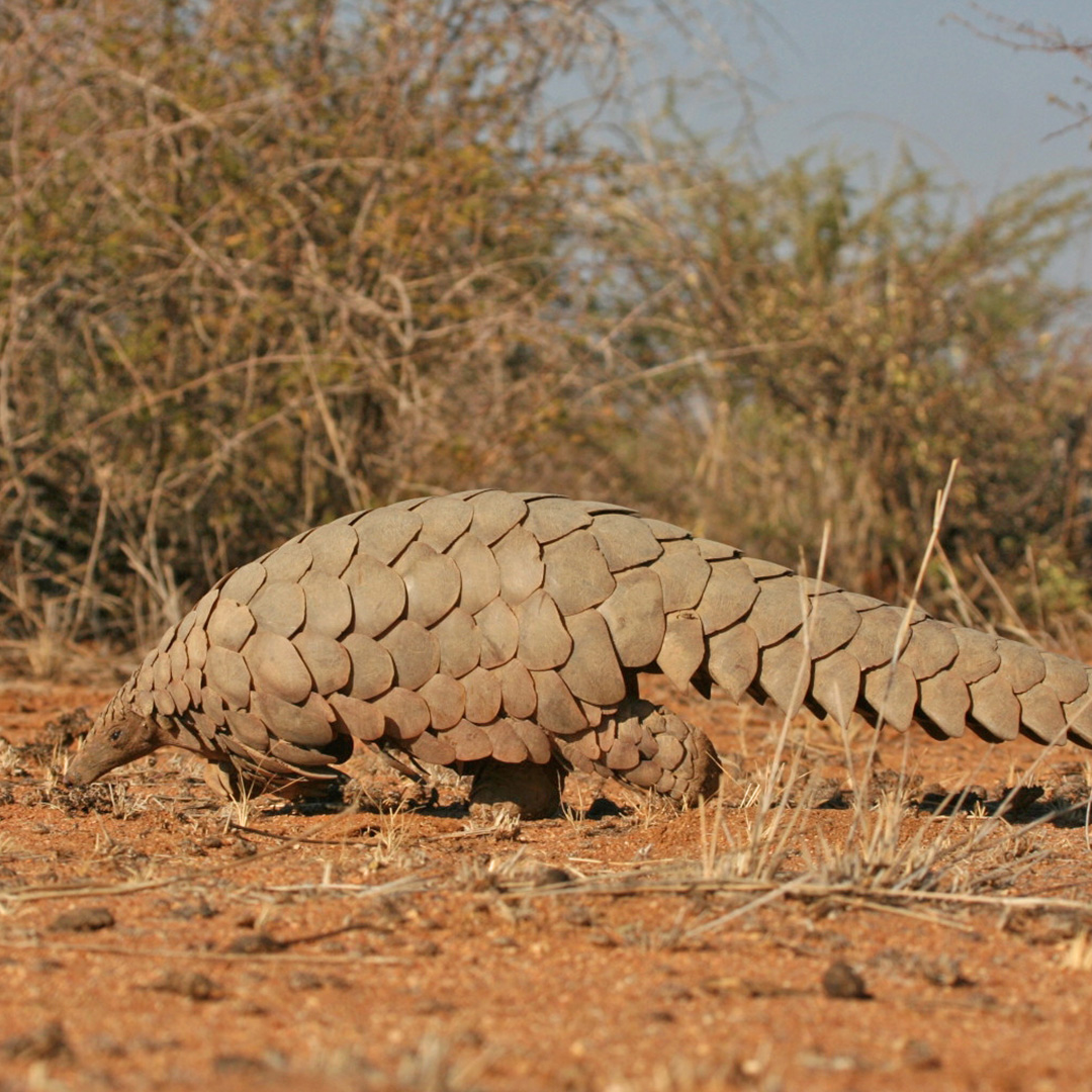 Pangolin conservation Namibia Activities