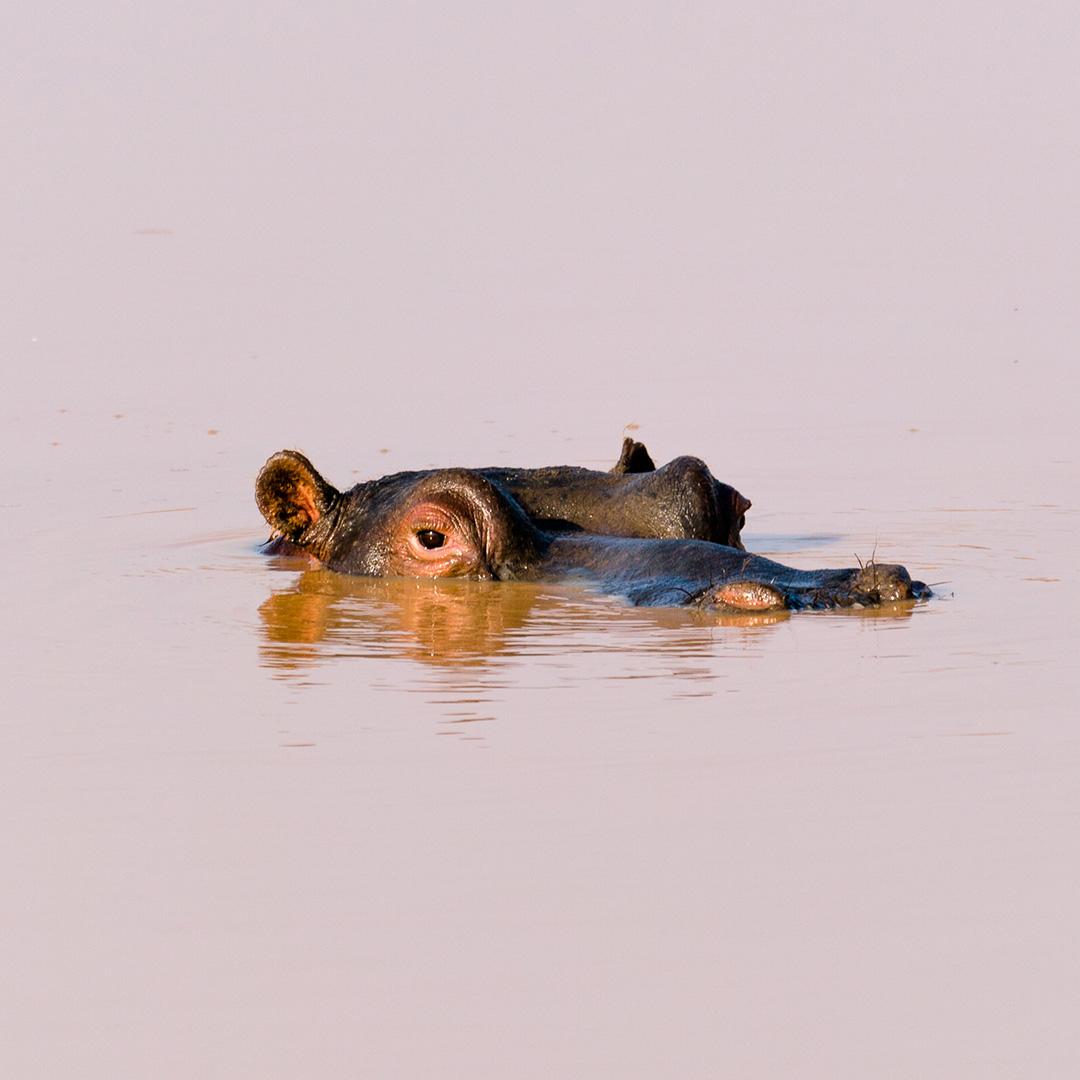 Hippo in dam in Namibia