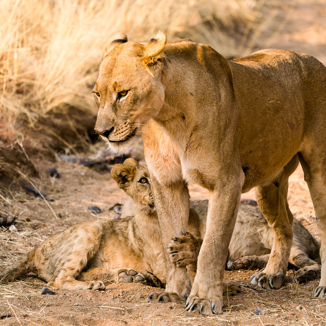 Lionness and cub in Namibia