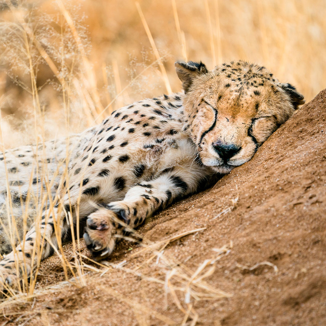 Cheetah sleeping on termite mound Namibia