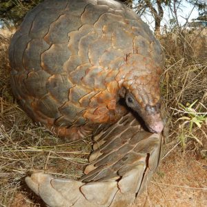 Pangolin Tracking