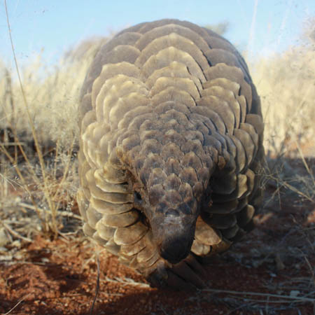 pangolin project conservation fund erindi private game reserve