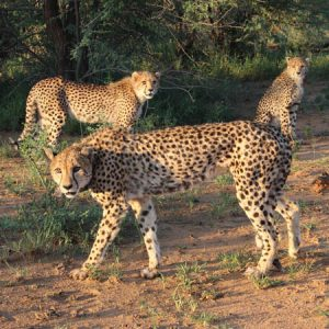 Cheetah Project