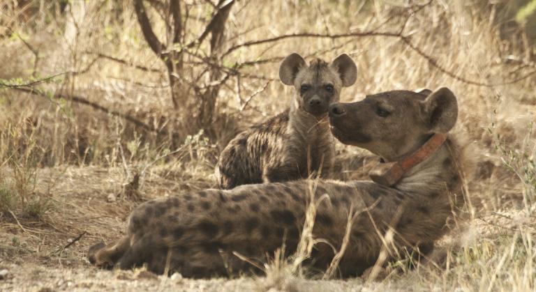 Erindi Hyena Conservation Project