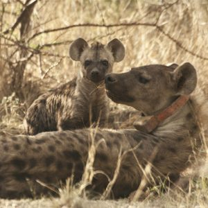 Spotted Hyena Project