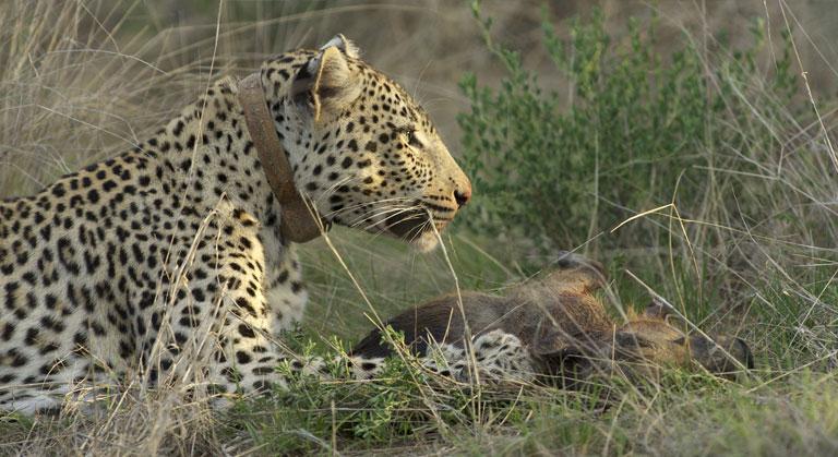 Erindi Global Leopard Project