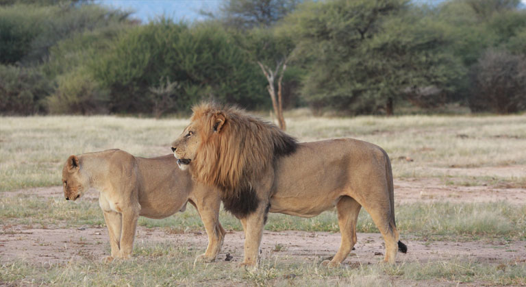 Erindi Lion Conservation Project