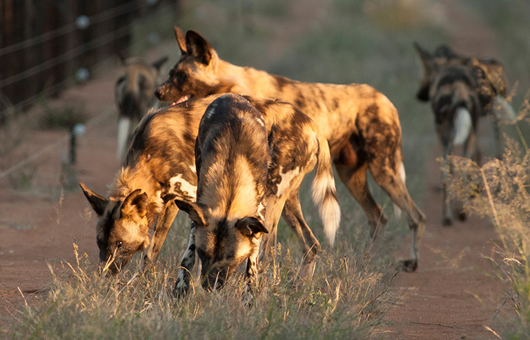 Erindi Wild Dog Conservation Project