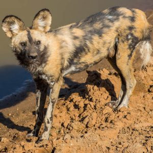 African Wild Dog Project
