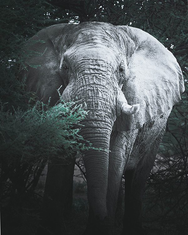 Erindi Elephant
