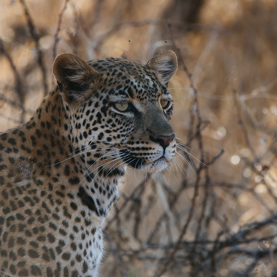 Leopard in bush Namibia