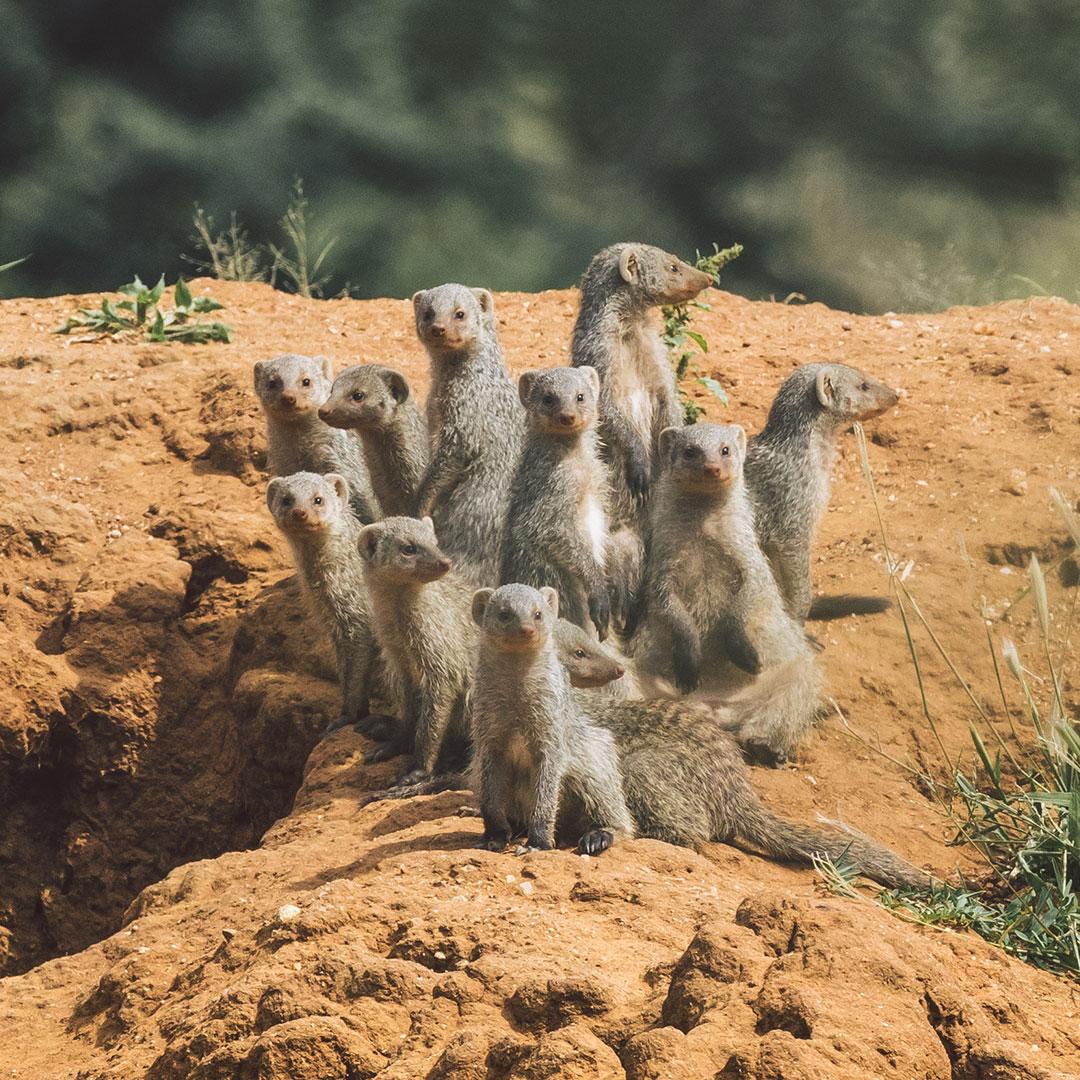 Banded mongoose Namibia