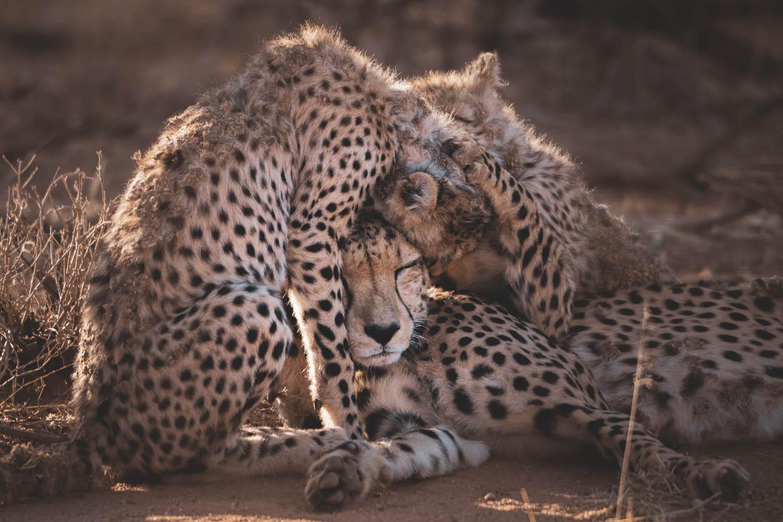 lucas-pereira_cheetah-hug