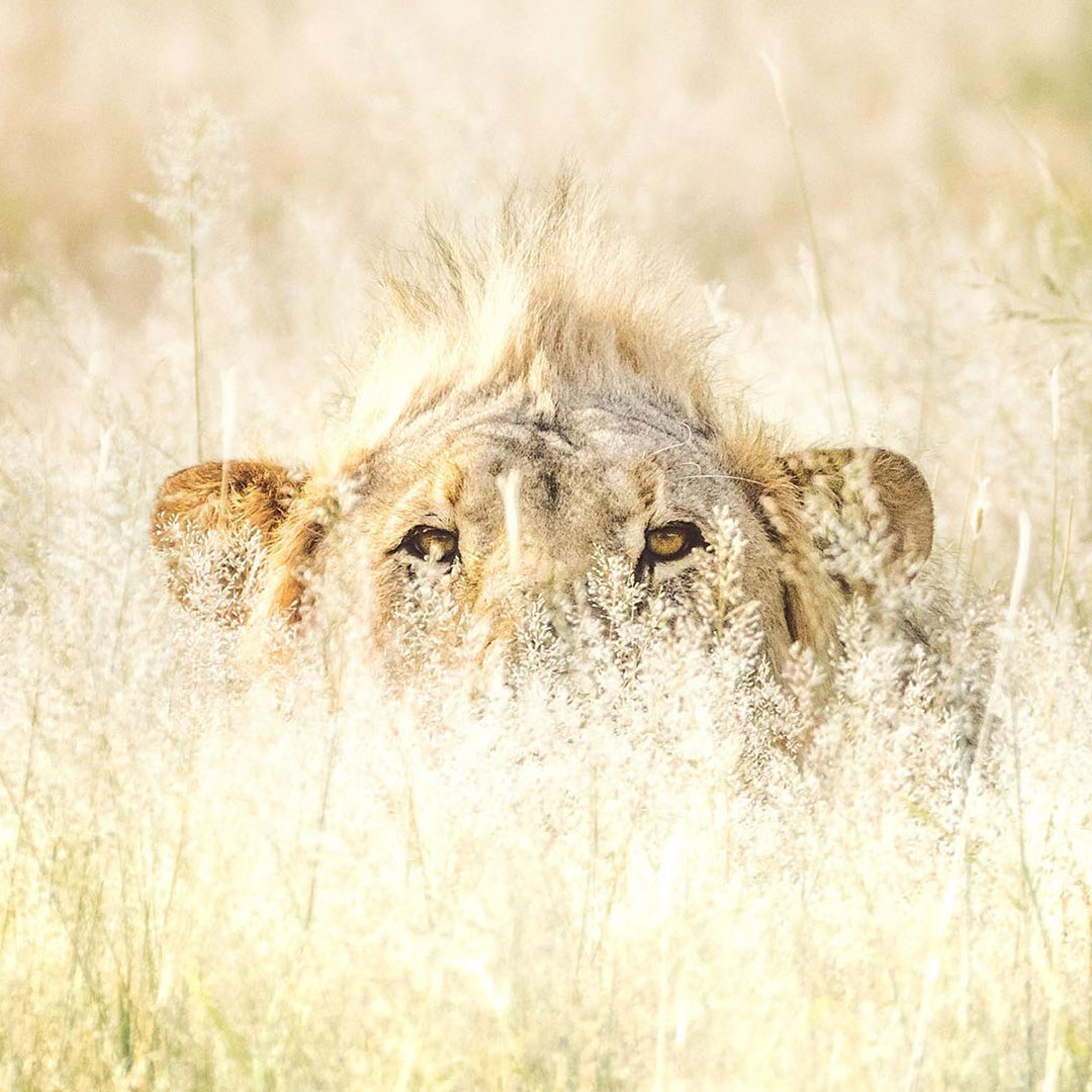 Young lion hiding in grass Namibia