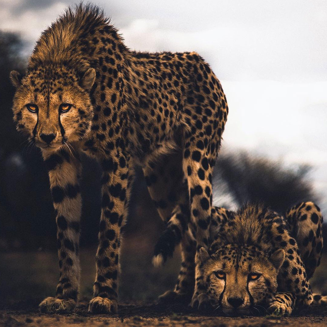 Two cheetah in Namibia