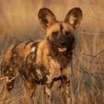 Wild Dog Conservation at Erindi