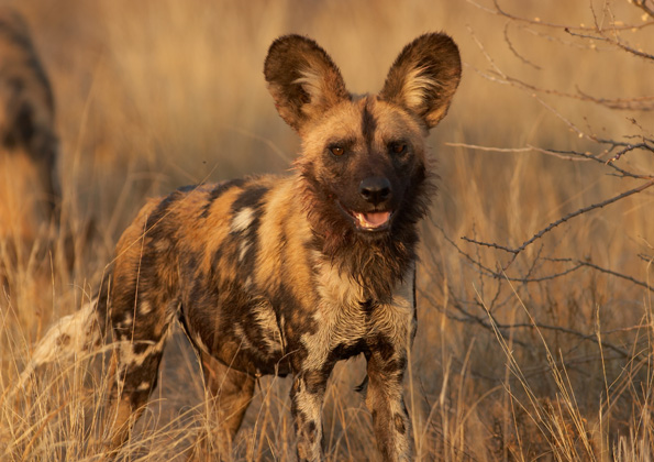 Wild Dog Conservation