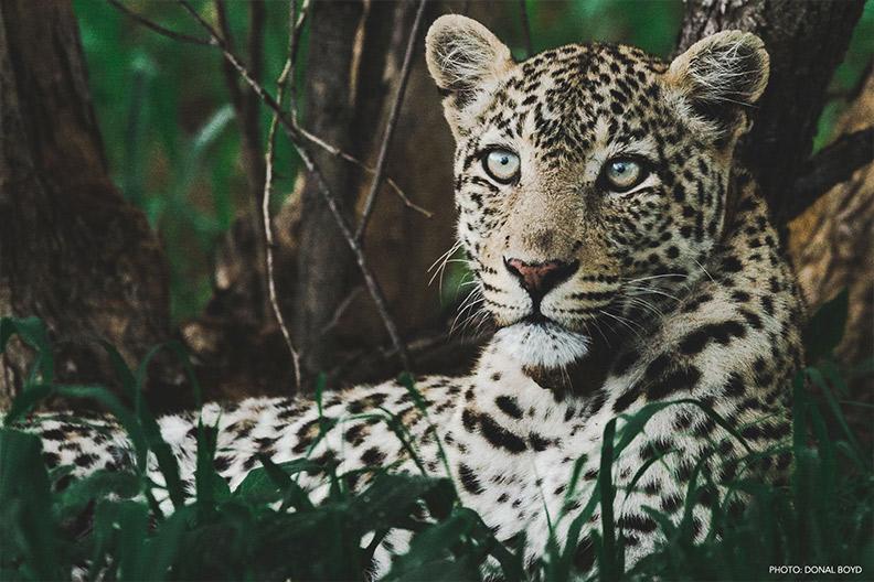 wildlife-leopard-1